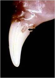 Tooth Resorption image Cheshire Cat Feline Health Center